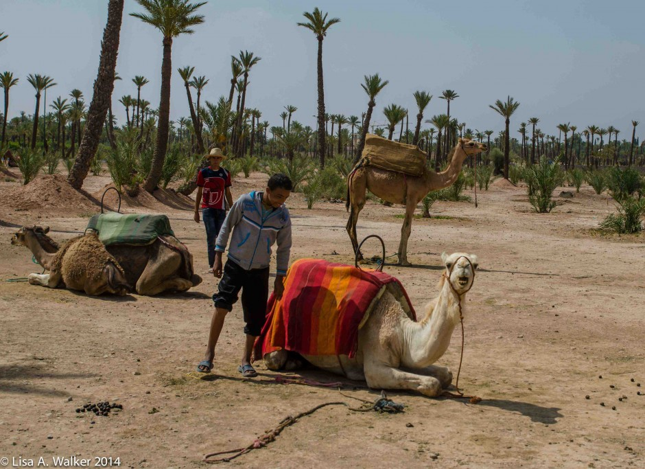 48_Camel